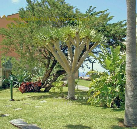Garden with Dragon tree.