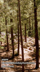 Indigenous pines Tenerife Mercedes forest