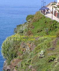 Martianez cliffs with trailing down plants in Puerto de la Cruz Tenerife