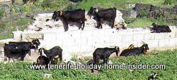 Goats standing on walls inTenerife Spain