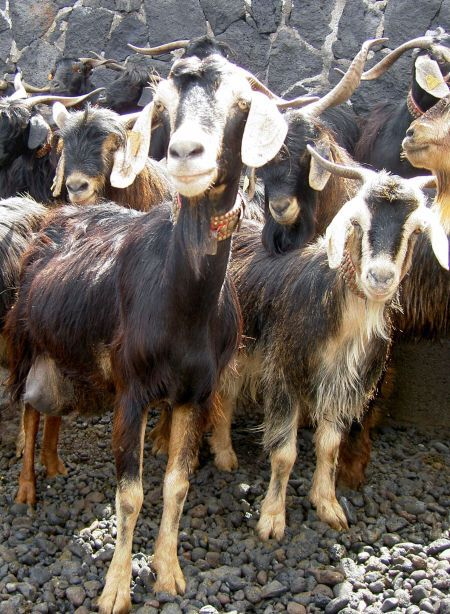 Mountain goats of Tenerife Island