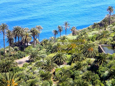 Palm grove by the sea at San Pedro Los Realejos of Tenerife.