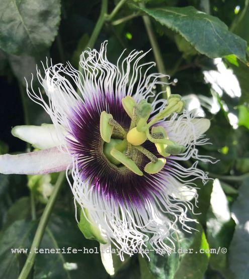 Passion fruit flower Parchita which grows near the revamped Hotel Mirage of La Paz Puerto de la Cruz