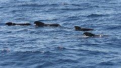 Pilot whales near Los Gigantes