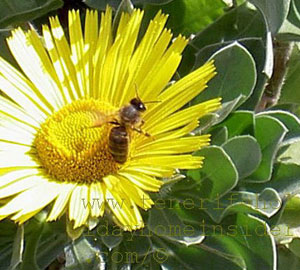 Tenerife bee on wild daisy