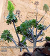 Tabaiba succulents on Los Realejos roof