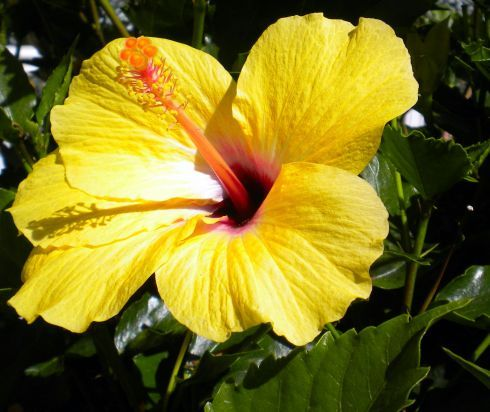 Yellow hibiscus on Avda.Canarias in June 2016.
