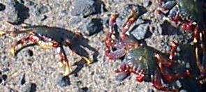Yellow legged crustacean