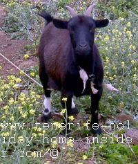 Young she goat of Tenerife Barranco Ruiz farm pet goat  by Cibele